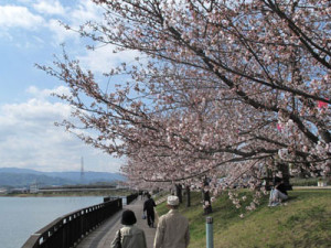 久米田池桜